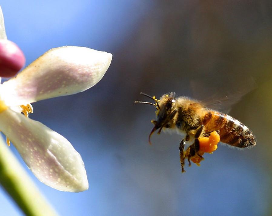 L'EFSA conferma: insetticidi neonicotinoidi nocivi per le api. L'UE deciderà finalmente di vietarli?